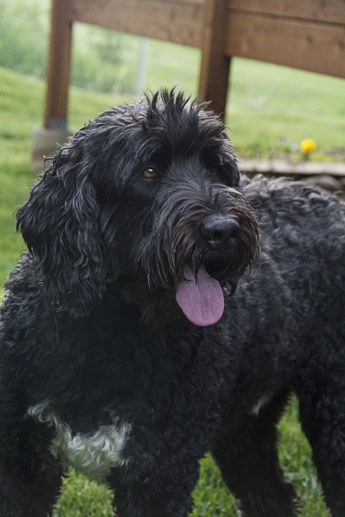 Black Russian Terrier Dog Breed Information, Pictures