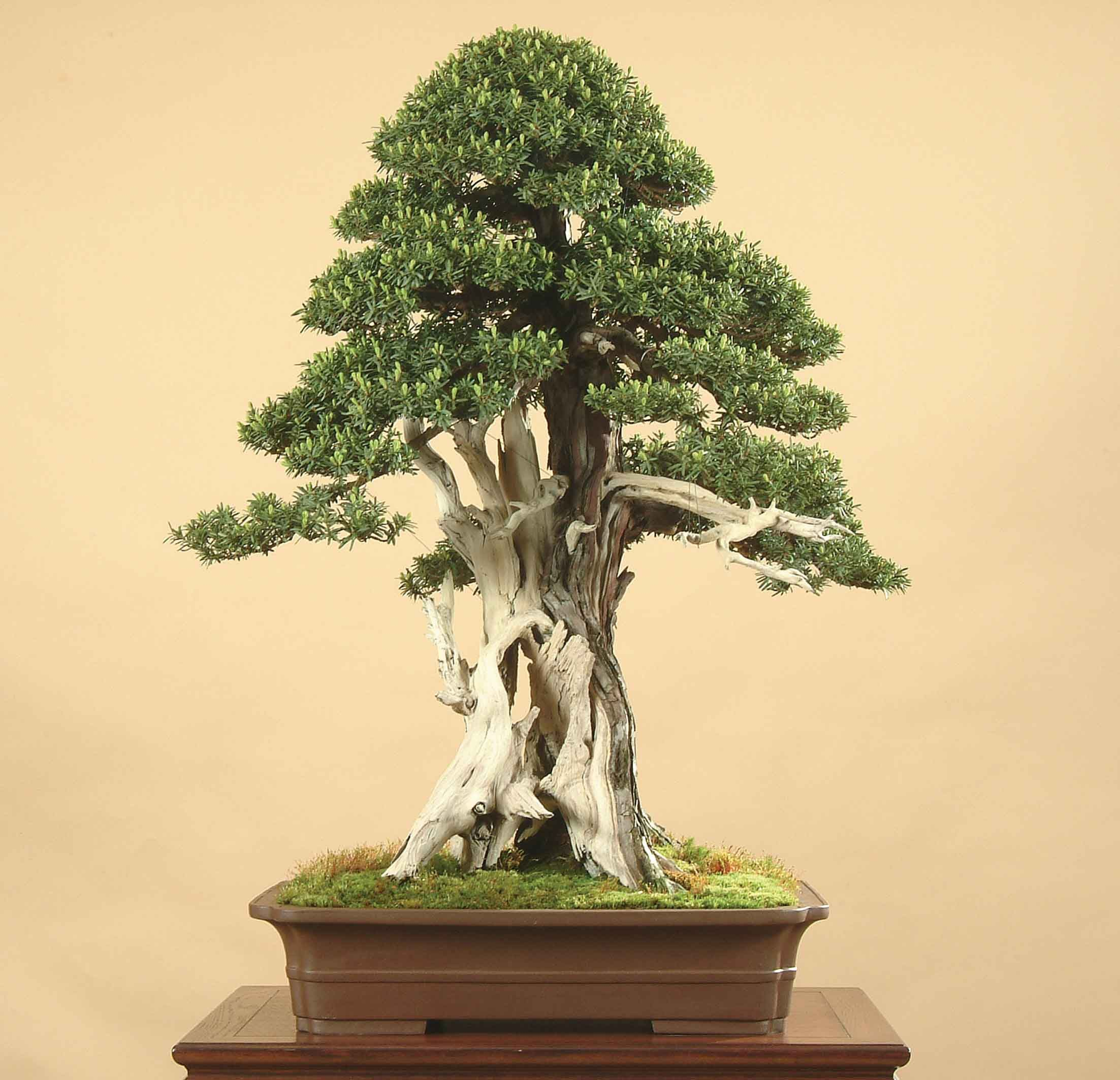 Dwarf trees to grow in containers and pots
