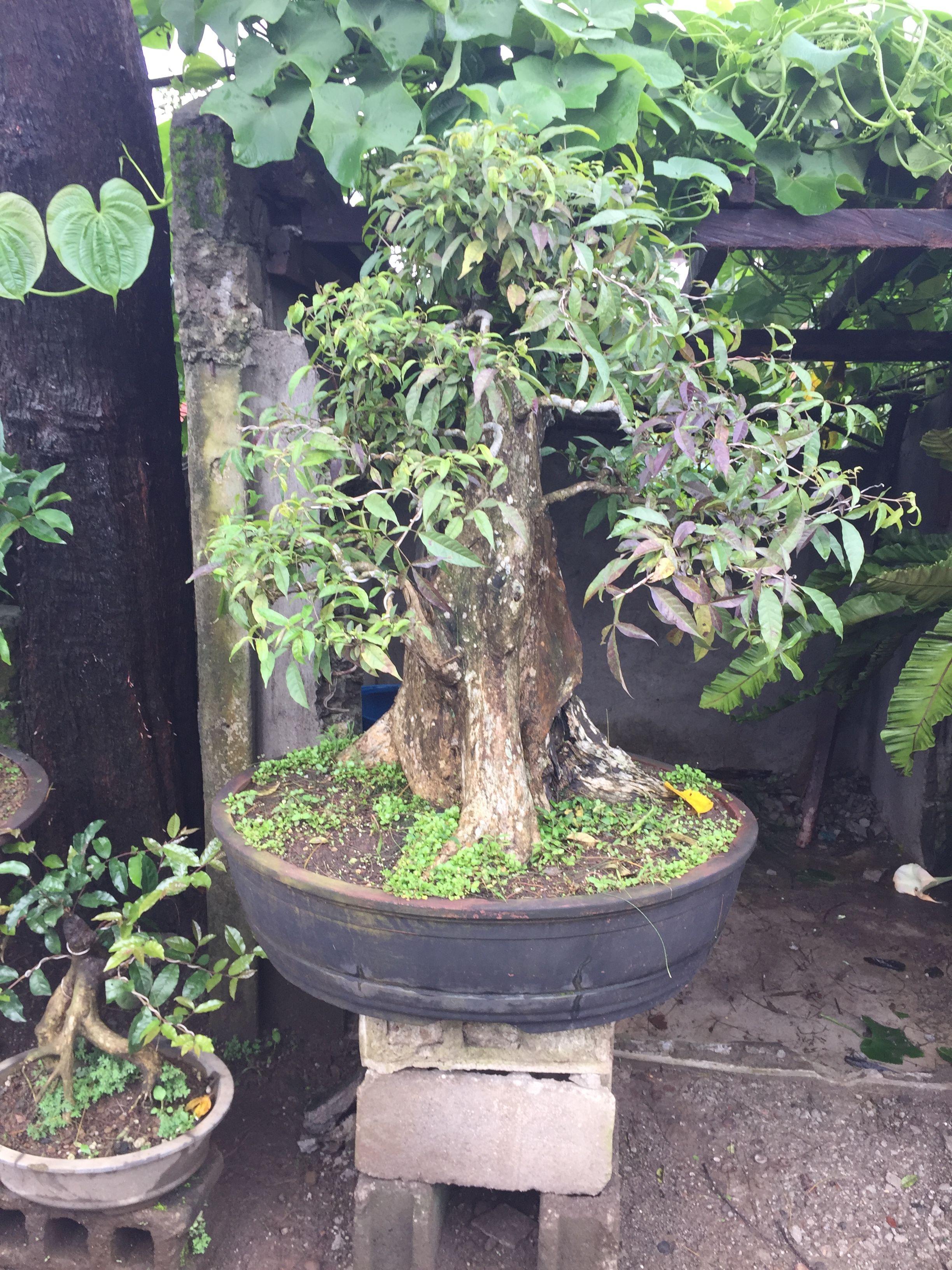 Roadside Bonsai Sales Tagaytay Philippines Bougainvillea Bonsai Bonsai Tree Plants