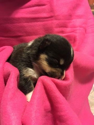 Litter Of 7 Pembroke Welsh Corgi Puppies For Sale In Bemidji Mn