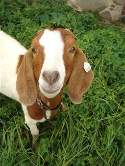 350+ Pet Goat Names for Your New Goat (From Angus to ...