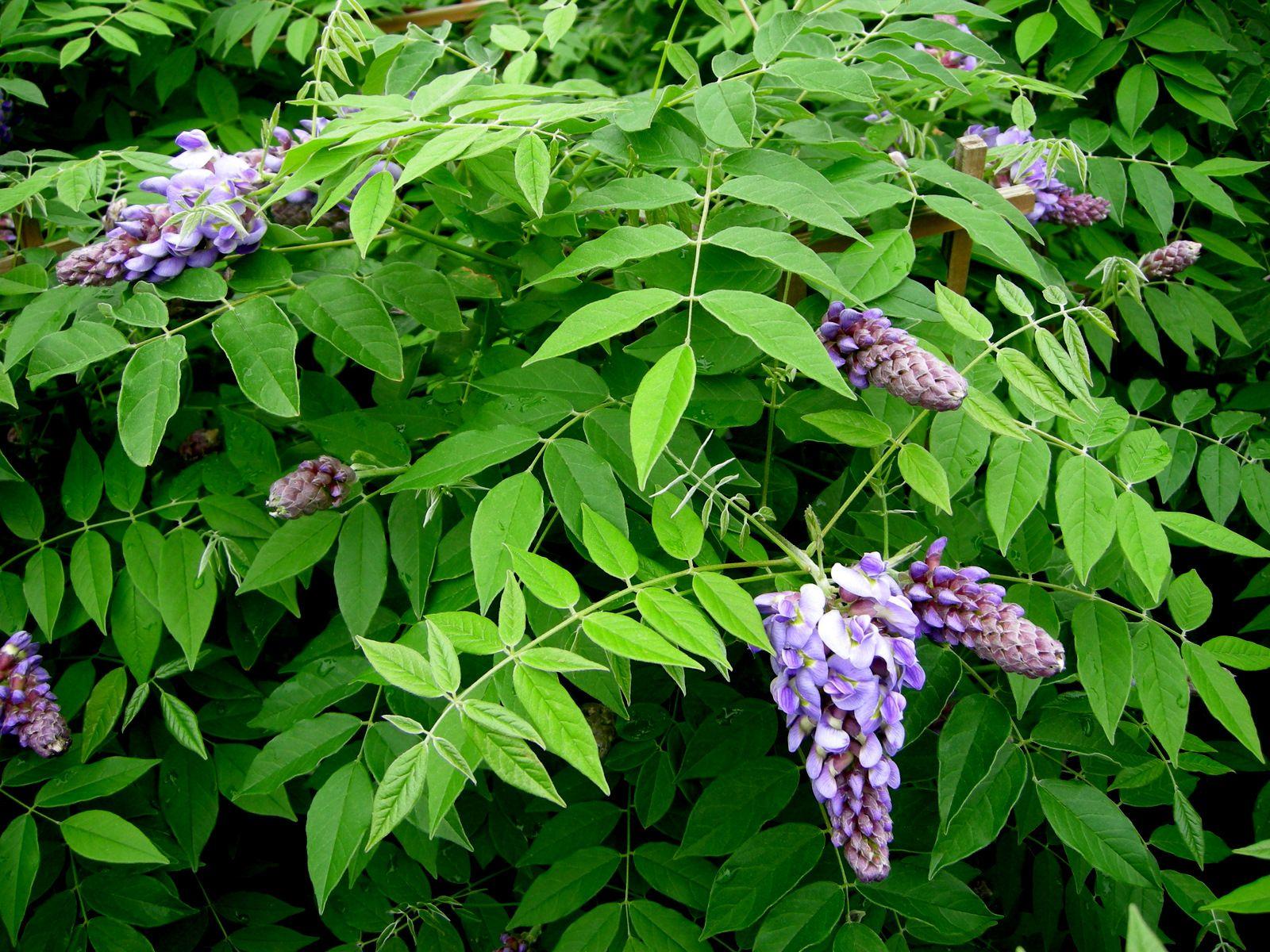 Native American Wisteria Wisteria Frutescens Amethyst Falls