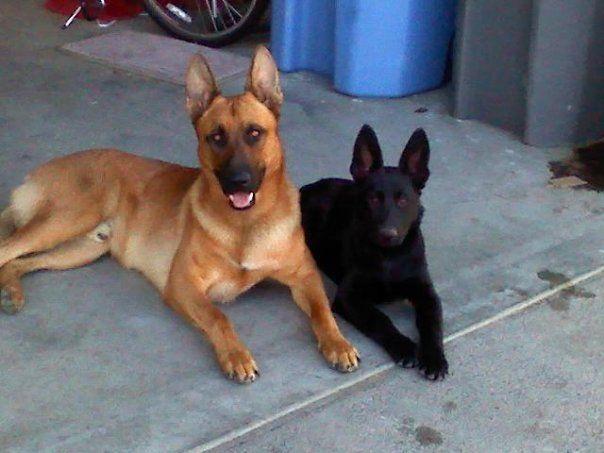 Blonde Sable German Shepherd And Friend Sable German Shepherd