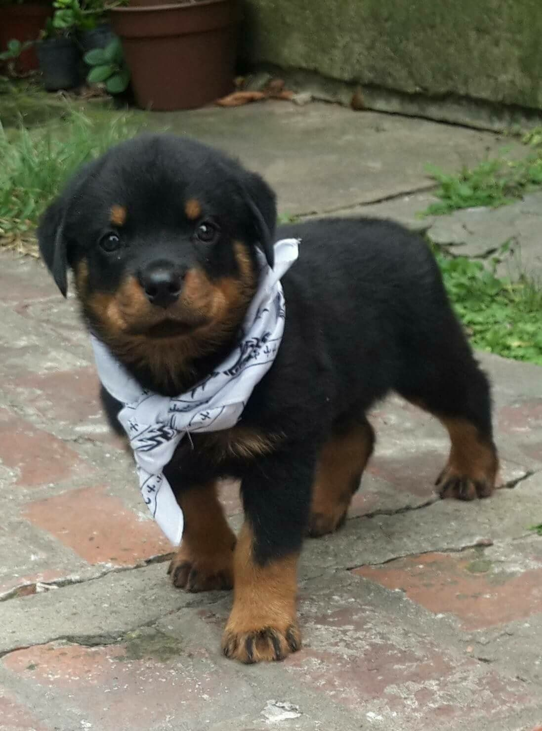 Pin By Puppies For Sale On Buy Sell Rottweiler Puppies Online