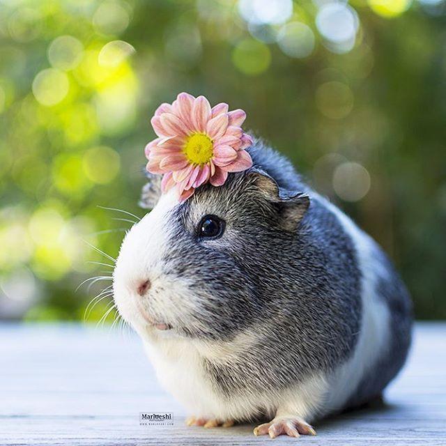 Pourquoi mieps est le cochon d inde le plus cool au monde chonchons pinterest - Image de cochon mignon ...
