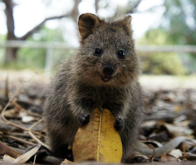 """The """"happiest animal in the world"""" is a quokka, a cuddly, cat-sized marsupial from Australia."""