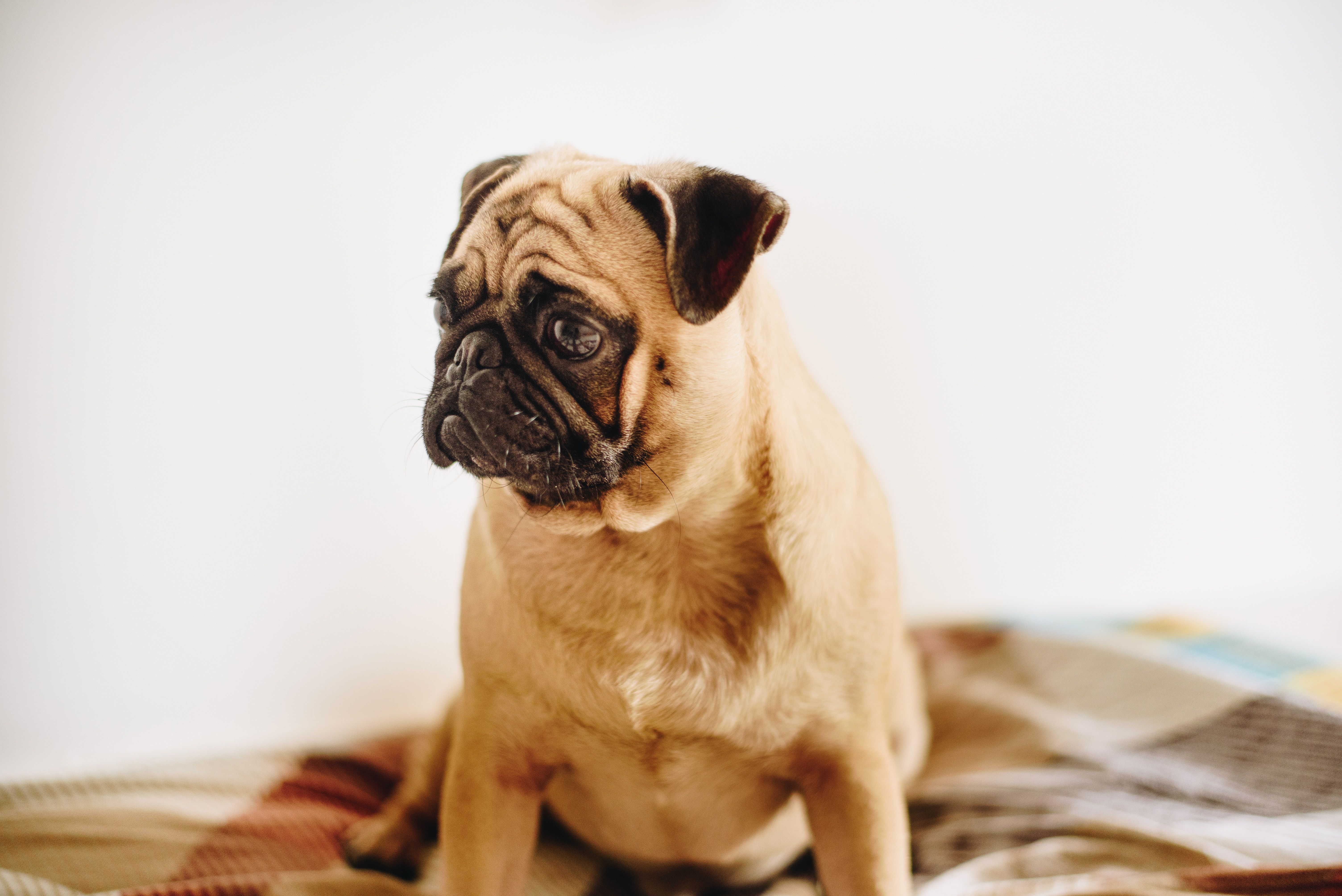 Right Now I M Https Ift Tt 2gjer4v Pug Puppies Puppies For Sale
