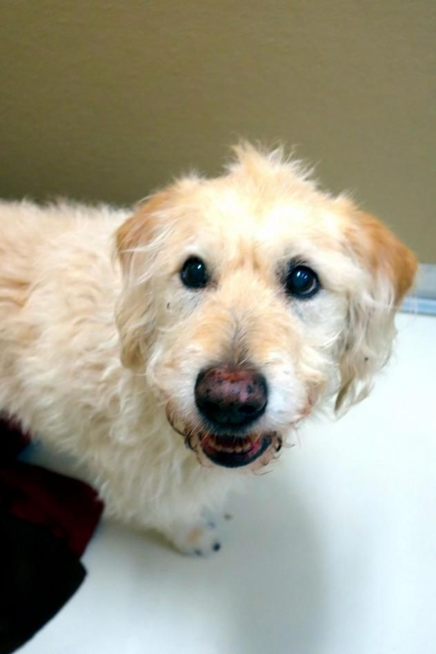 Adopt Loulou 3 1 17 Adopted On Petfinder Poodle Mix Dogs Dog Adoption Standard Poodle Mix