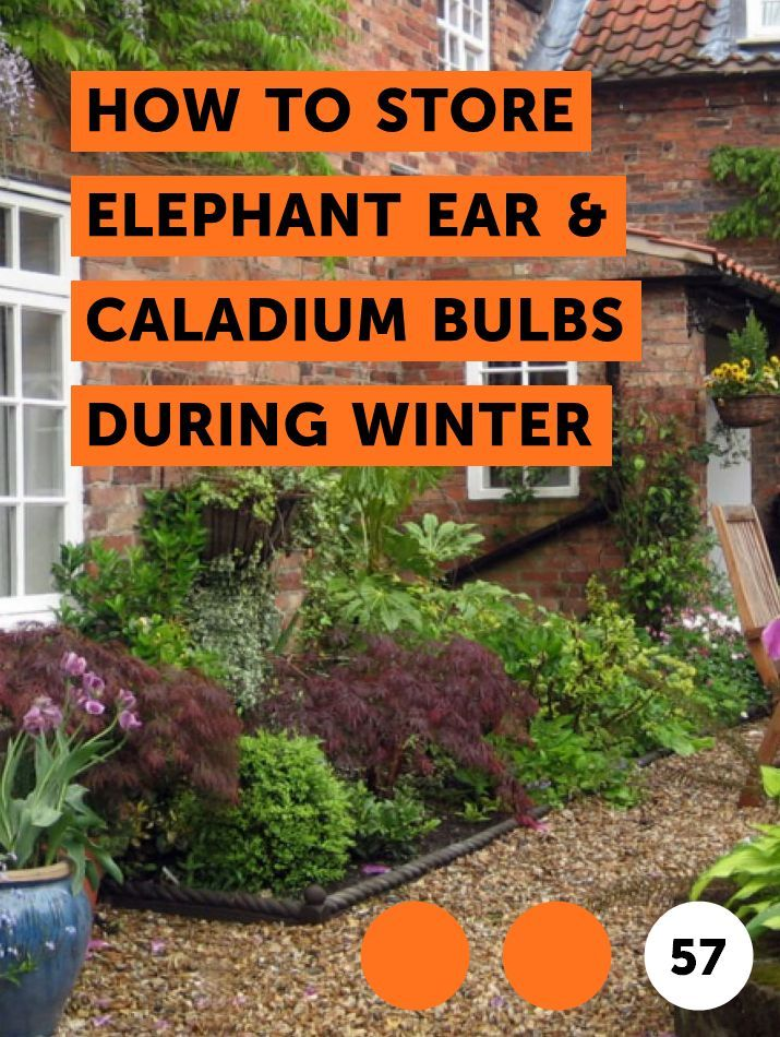 How to Store Elephant Ear & Caladium Bulbs During Winter #elephantearsandtropicals