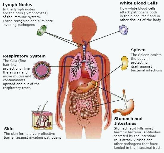 Immune system   Science Class   Pinterest   Immune system and Body ...