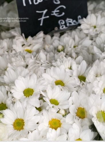 Margueriet Daisies At Aquarelle Paris France