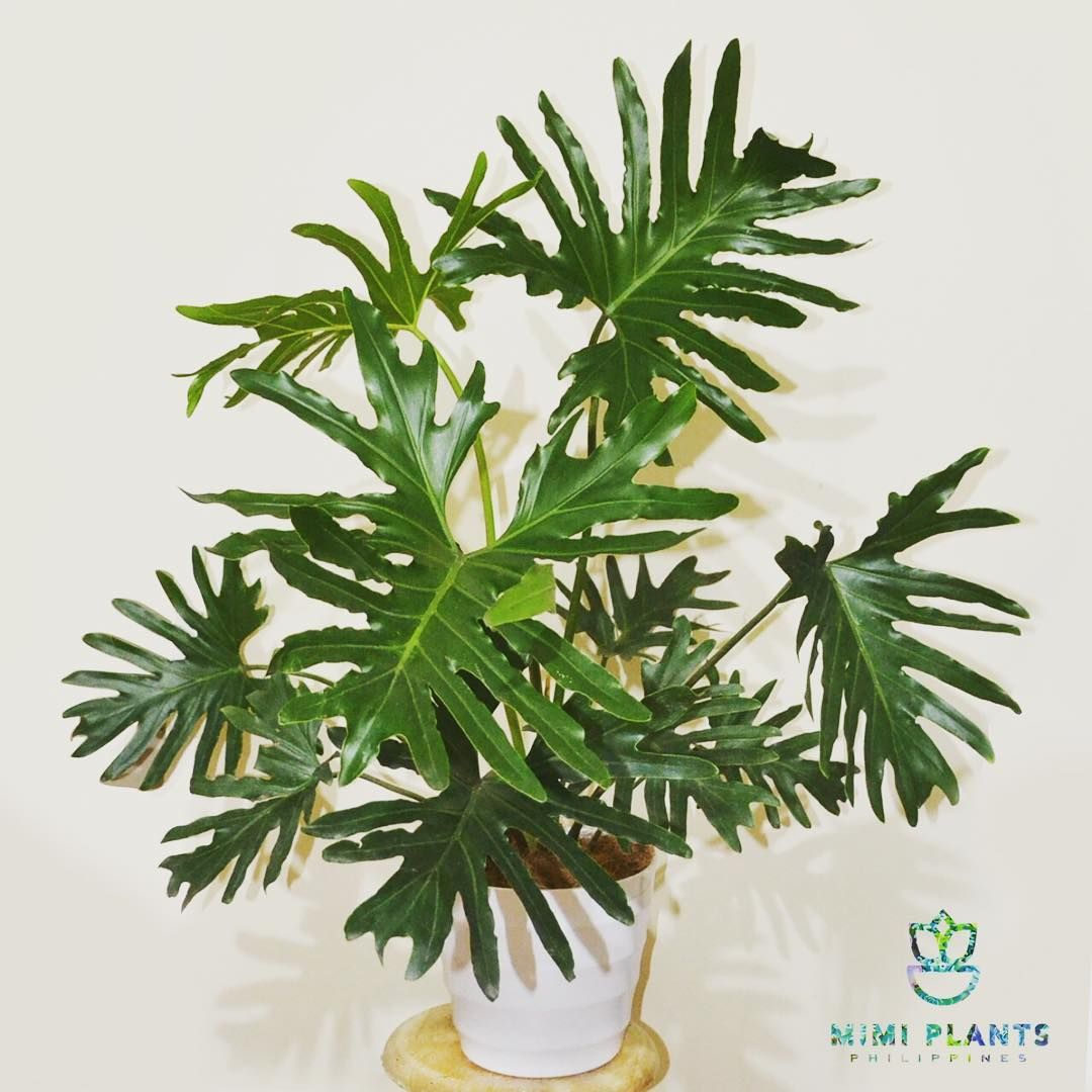 Image result for philodendron xanadu philippines images