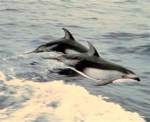 Porpoises ...