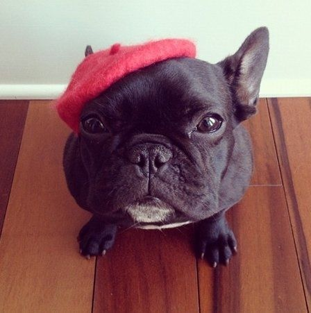 You Have No Idea How To Spell Frenchie French Bulldog French