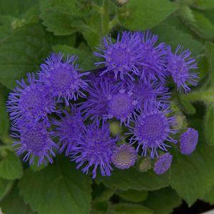 Artist® Blue Ageratum hybrid 'Agsantis' (Flossflower)