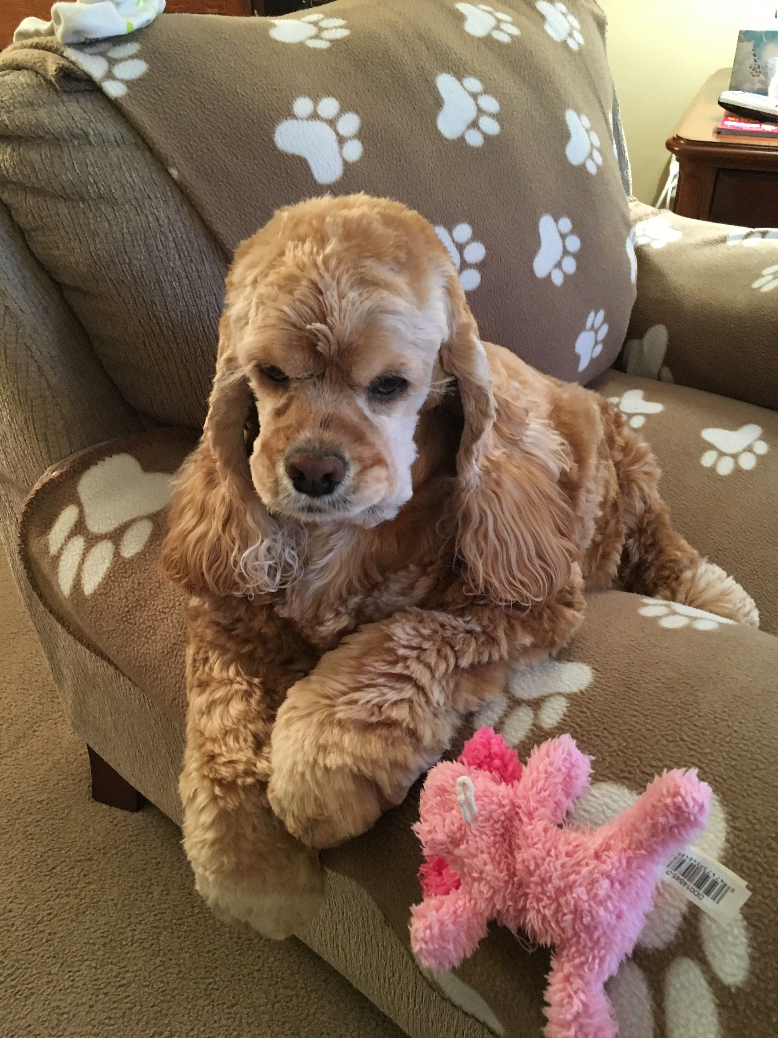 Pin By Patricia Robinson On Cockapoo Cute Animals Cute Dogs
