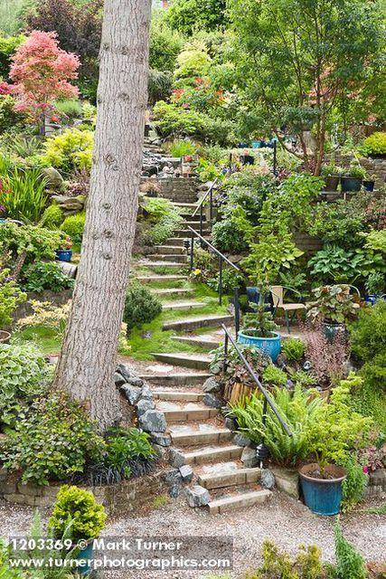 1203369 Steps Wind Through Middle Of Hillside Garden W Paperbark Maple Japanese Maples Sword Fern Baby Hillside Landscaping Sloped Backyard Hillside Garden
