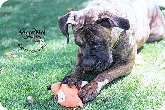 Kansas City, MO - Boxer Mix. Meet Keela, a dog for adoption. http://www.adoptapet.com/pet/11610857-kansas-city-missouri-boxer-mix