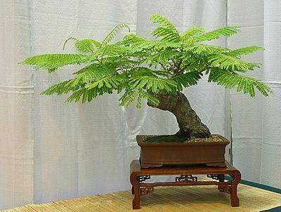 Bonsai Flamboyant Tree Plantfiles Royal Poinciana Flamboyant Tree Flame Tree Peacock Flower Bonsai Tree Bonsai Japanese Bonsai
