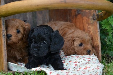 Really cute Australian cavoodle puppies! Cute dogs and