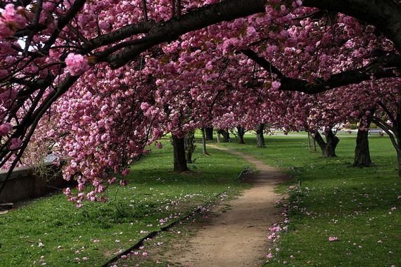Say Hello To Spring With 35 Beautiful Photos Of Cherry Blossoms From Around The World Cherry Blossom Tree Beautiful Gardens Cherry Blossom