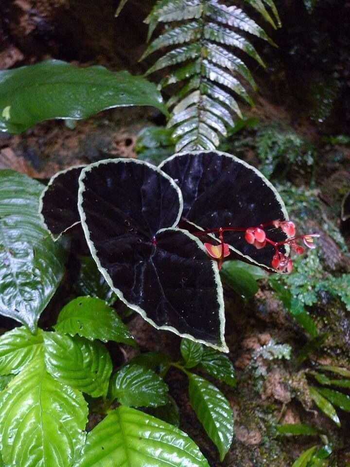 Begonia darthvaderiana (yes, really) Black leaves with a silver
