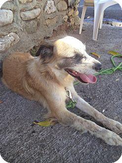 Zephyr, ON - Collie/Labrador Retriever Mix. Meet Bobby, a dog for adoption. http://www.adoptapet.com/pet/14493724-zephyr-ontario-collie-mix