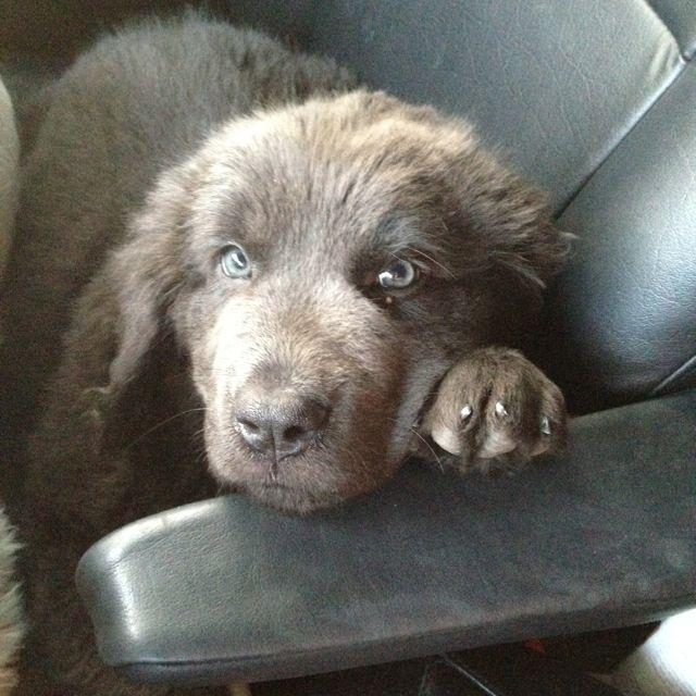[+] Bonavista German Shepherd Dog Puppies For Sale Or Adoption Near Me