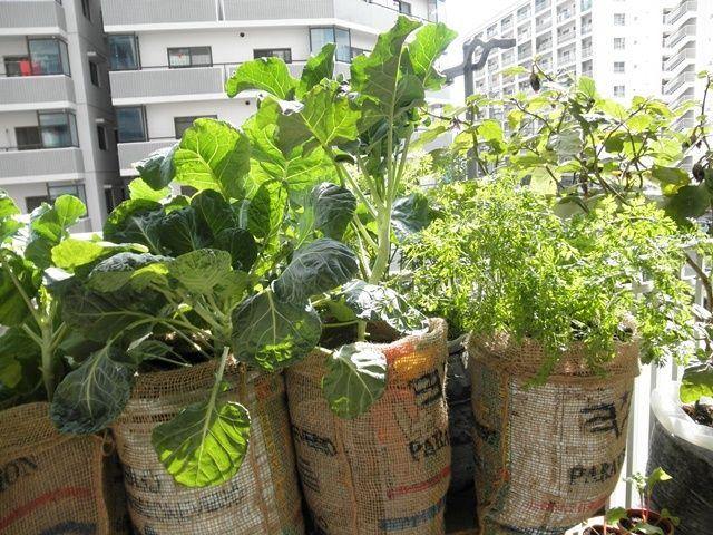 百均の麻袋で野菜の袋栽培をカバーリング ベランダ 野菜 家庭菜園