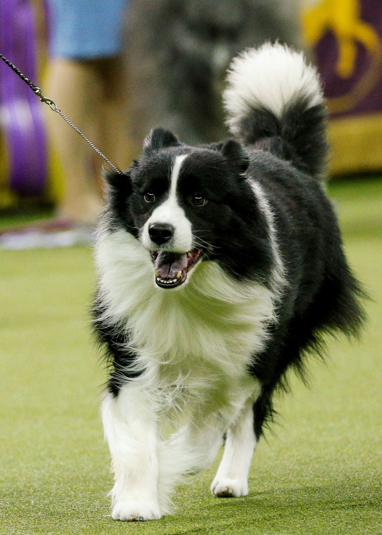 Flynn A Bichon Frise Takes Best In Show At Westminster Border