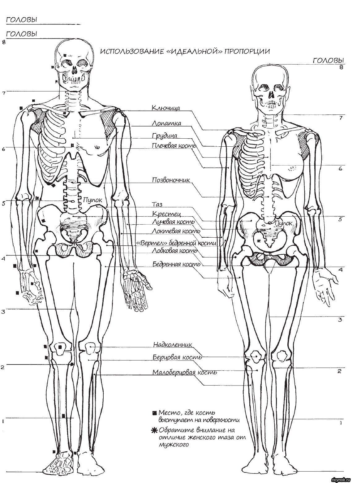 Скелет человека мужчины и женщины | уроки позы анатомия | Pinterest