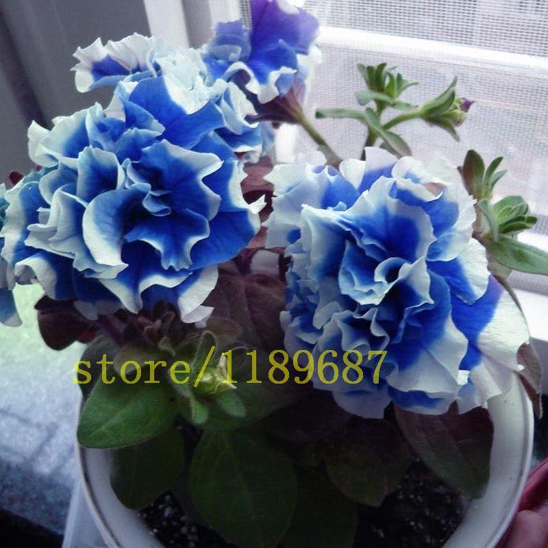 100 Pcs Garden Petunia Seeds Flower Petunia Petals Annuals Four