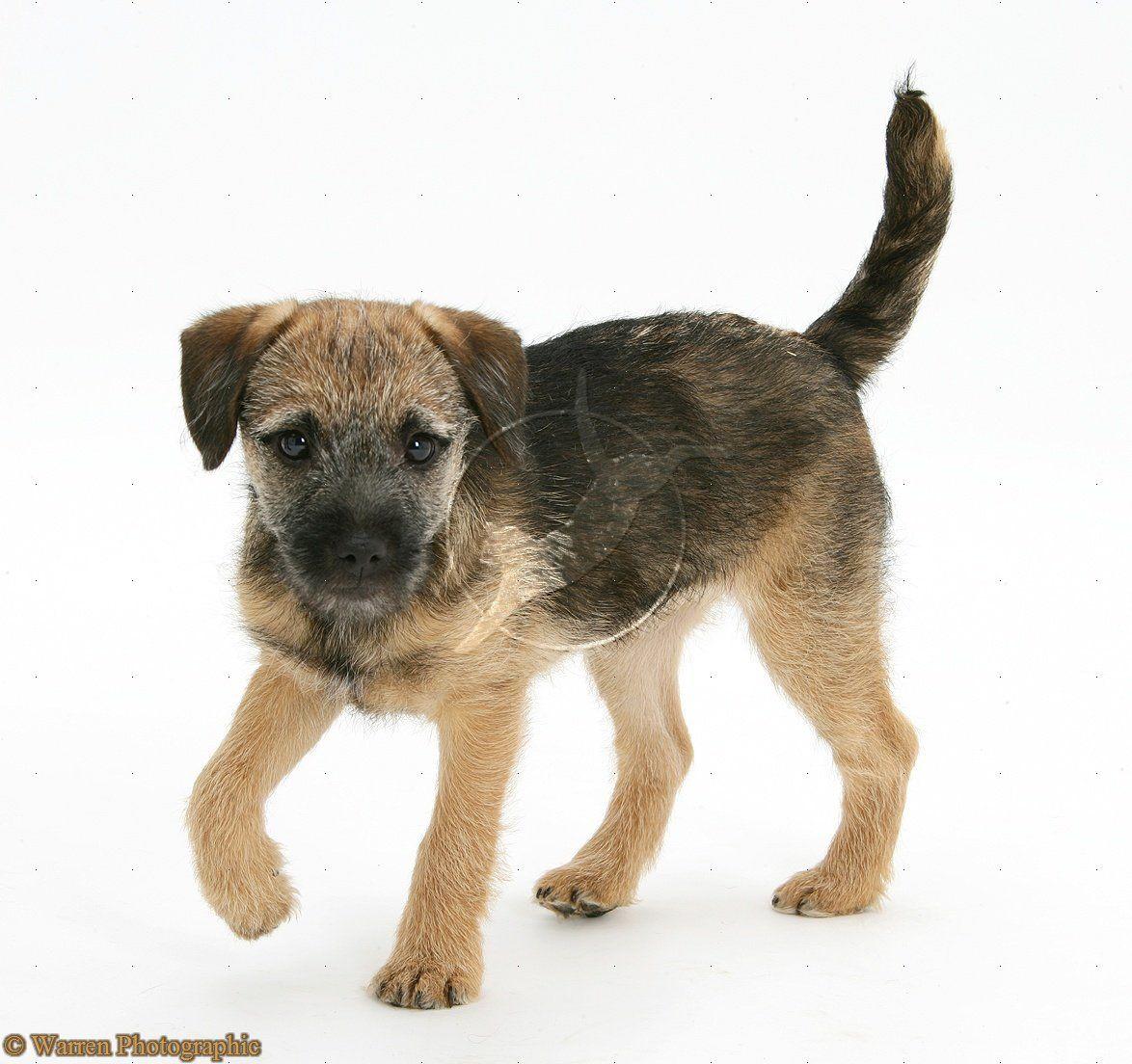Border Terrier Google Search Border Terrier Puppy Border