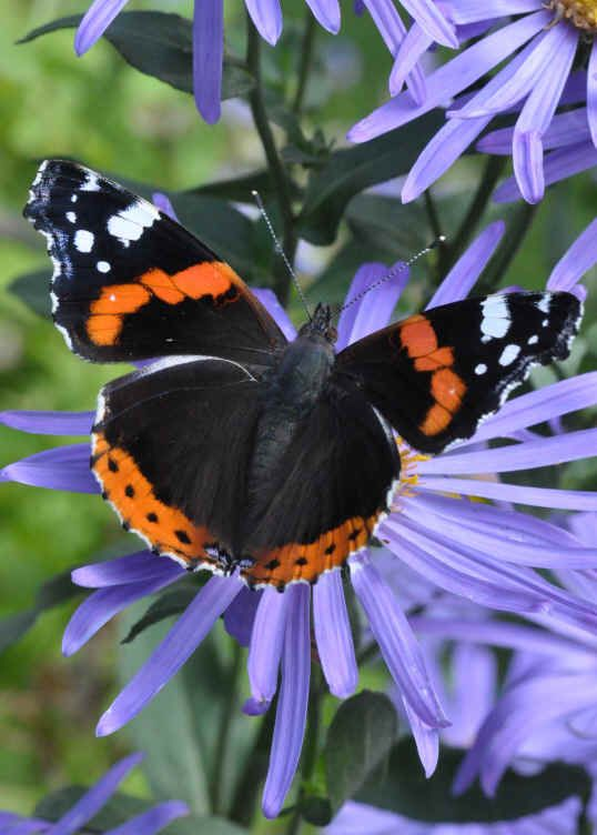 A Red Admiral butterfly on Aster amellus King George