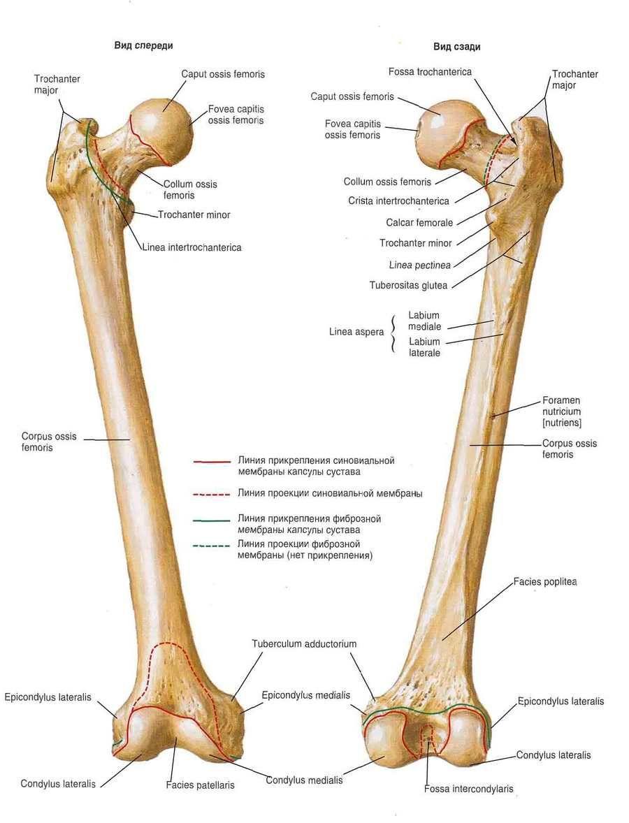 3_cr.jpg (900×1178) | anatomy | Pinterest