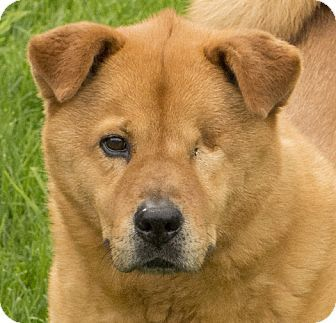 Chicago Il Chow Chow Mix Meet Hendrix A Dog For Adoption
