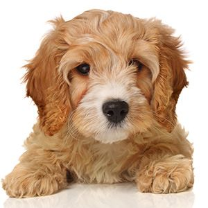 Cava Poo Chon The Forever Youthful Looking Dog Cavapoo Puppies