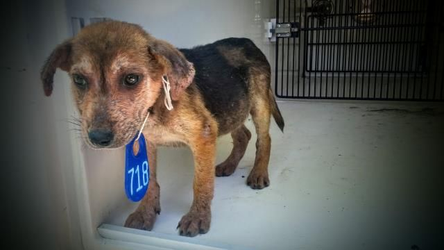 ~~TIME'S ALMOST UP!!~~05/20/16--HOUSTON- -EXTREMELY HIGH KILL FACILITY -This DOG - ID#A459584 I am a male, brown and black German Shepherd Dog. The shelter staff think I am about 8 weeks old. I have been at the shelter since May 20, 2016. This information was refreshed 8 minutes ago and may not represent all of the animals at the Harris County Public Health and Environmental Services.