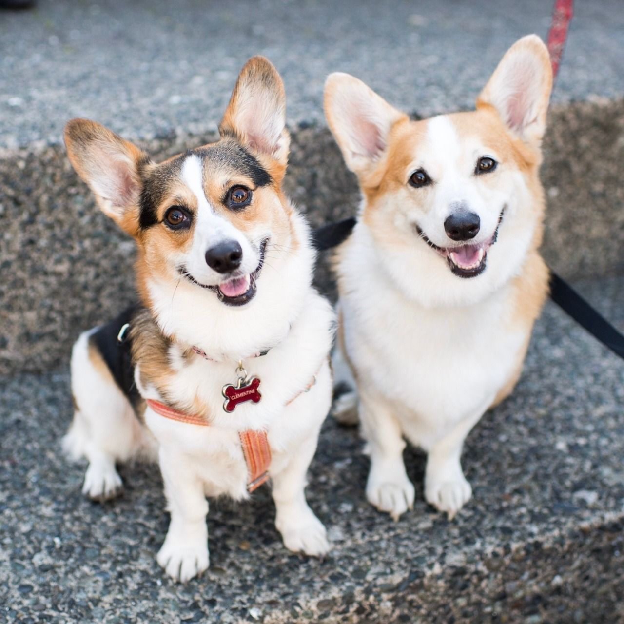 Clementine & Angus, Pembroke Welsh (2 & 4 y/o