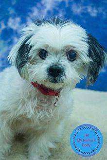 Staten Island Ny Shih Tzu Meet Dolly A Dog For Adoption Animals Beautiful Pet Adoption Animal Activism