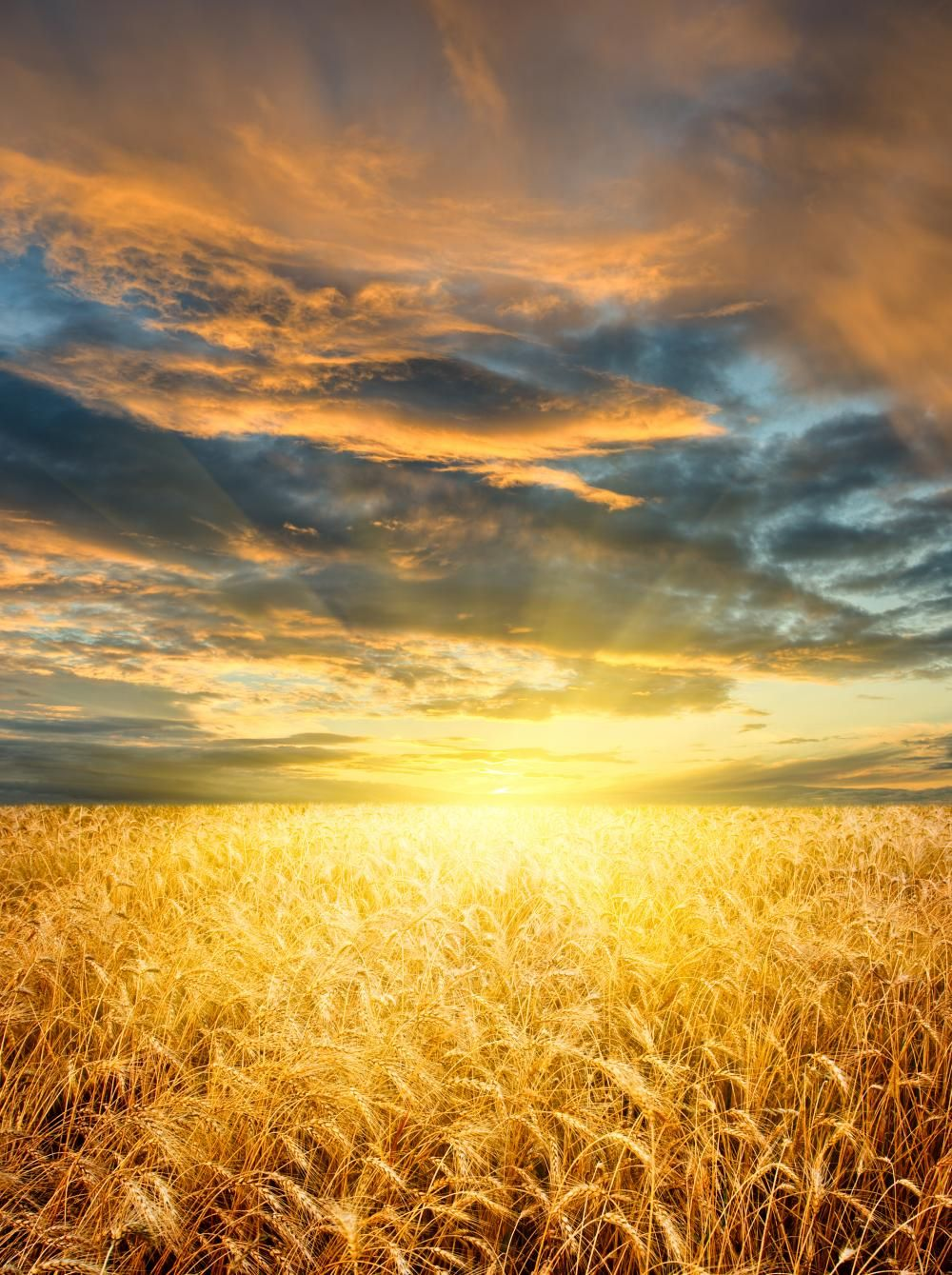 Amber Waves Of Grain Sunset Over A Wheat Field Nature