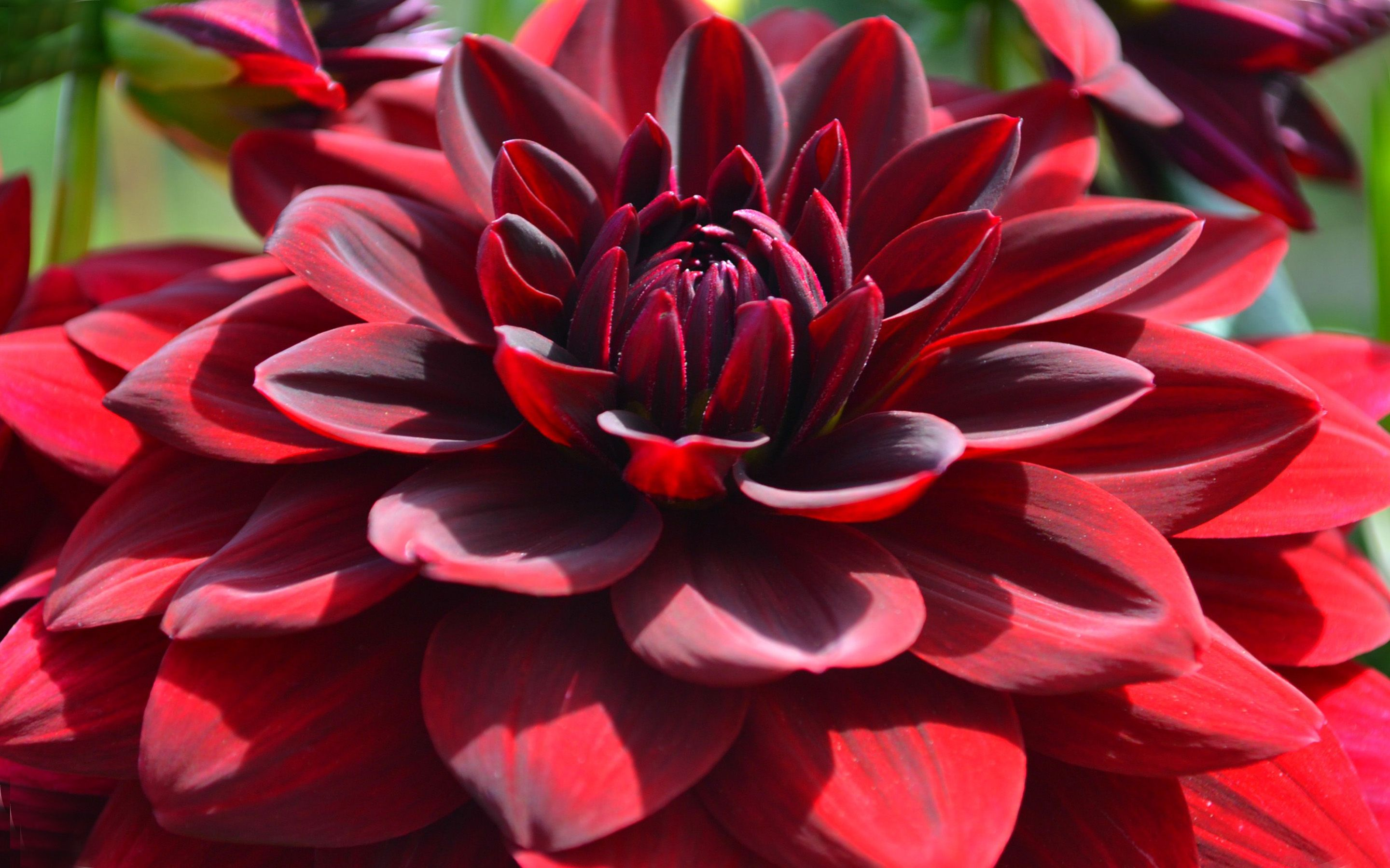 Download Red Dahlia Macro Flowers Desktop Hd Wallpapers