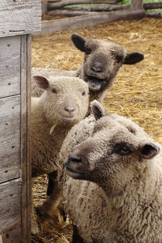 my life would be complete if i had these little faces to greet me each morn ... i love sheep so much ... some day ... : ) pg