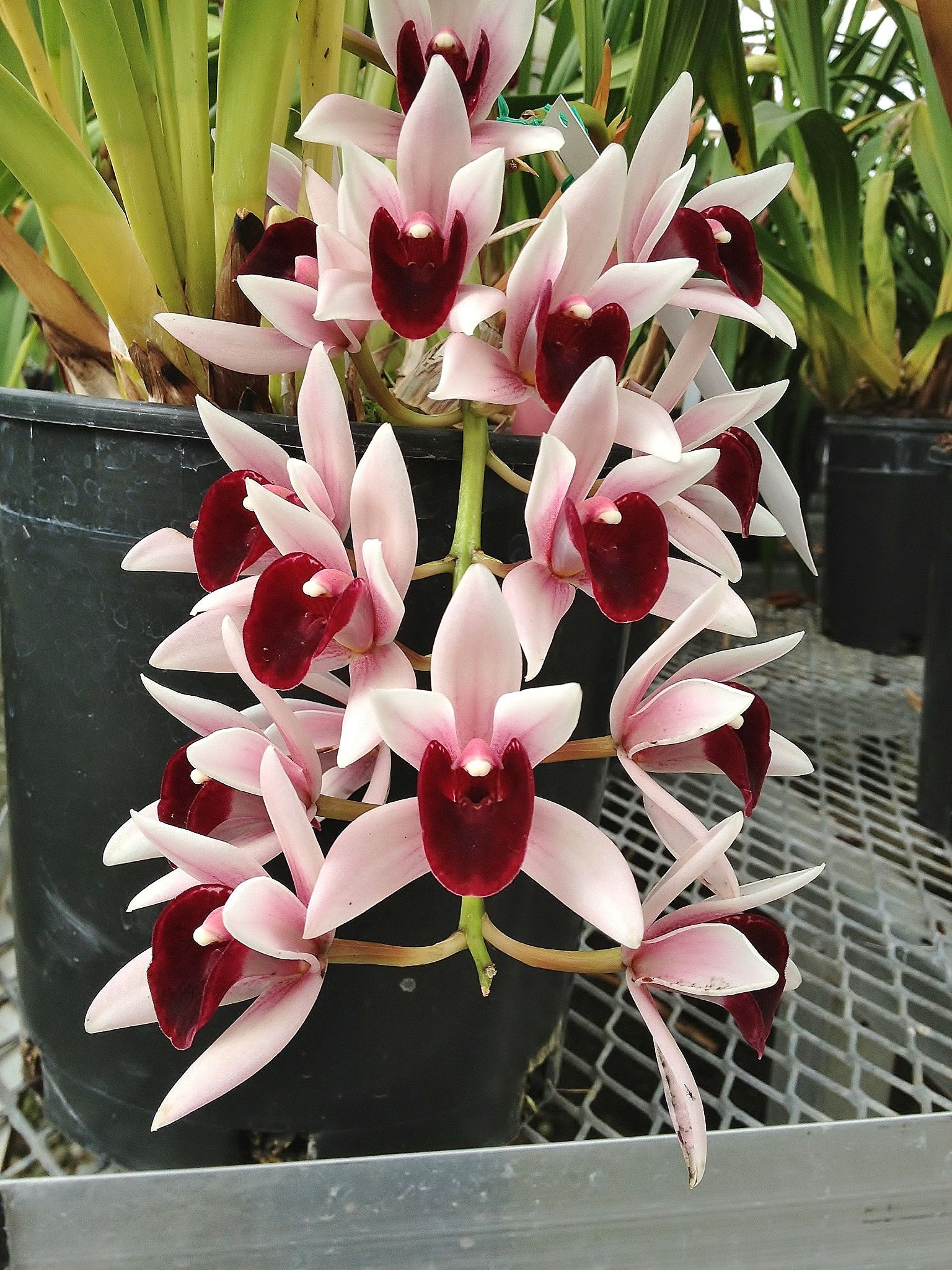 New horizon orchids cymbidium orquideas flores for Vivero de plantas exoticas