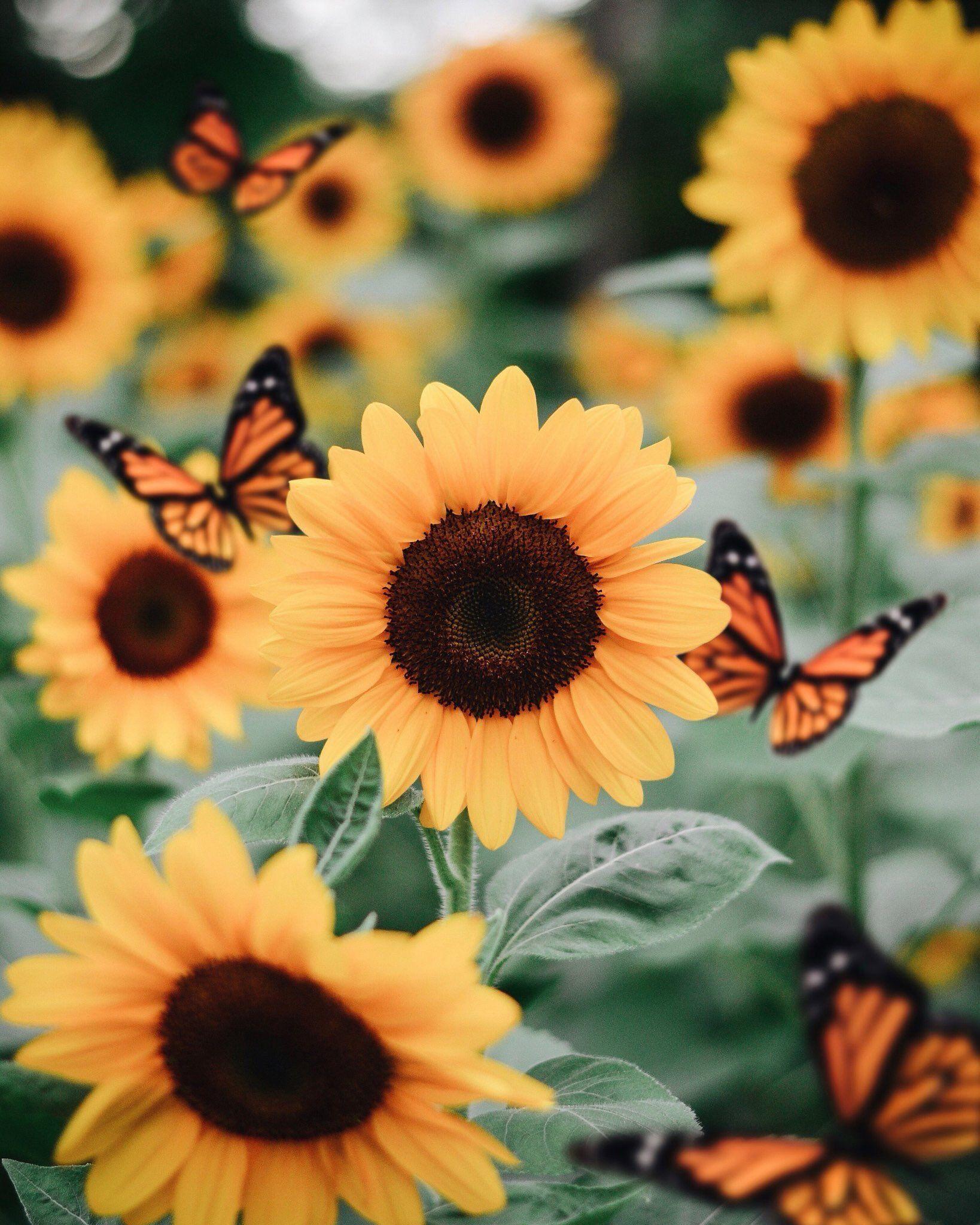 Sunflowers On U201csunflowers Make My Soul Smile U201d Sunflowerwallpaper Sunflowers On U201csunfl Sunflower Pictures Sunflower Wallpaper Flower Wallpaper