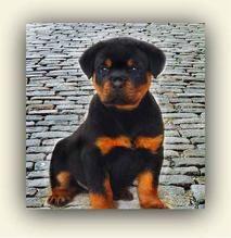 Home Dog Breeds Rottweiler Puppies Rottweiler Temperament