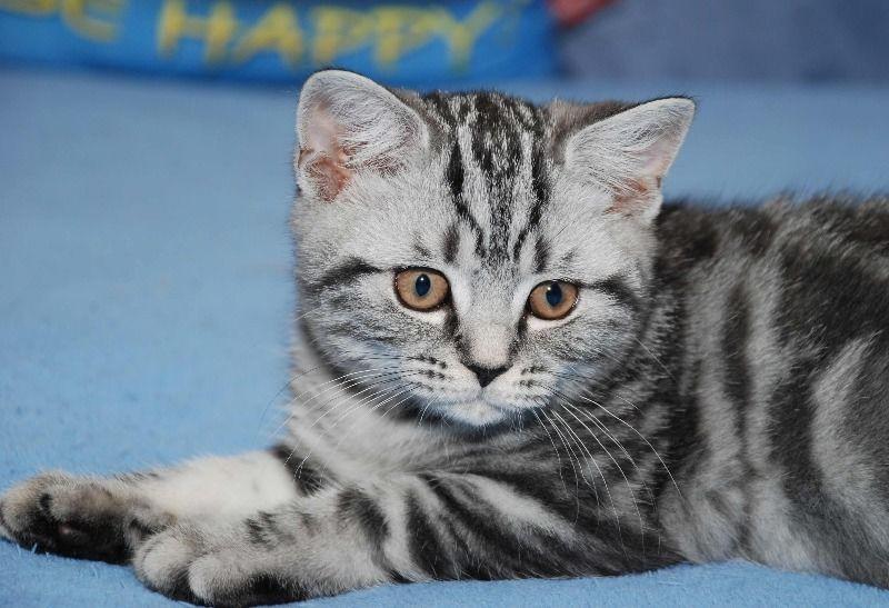 Фото: Британские котята вискасных окрасов от питомника ...