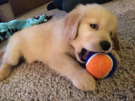 Lola The Golden Retriever Golden Retriever Retriever Puppy Play