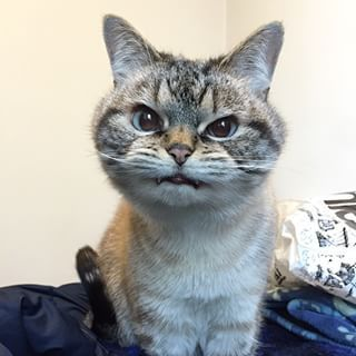 Cause Who Can Resist A Face Like This With Images Cute Animals Cat Adoption Vampire Cat