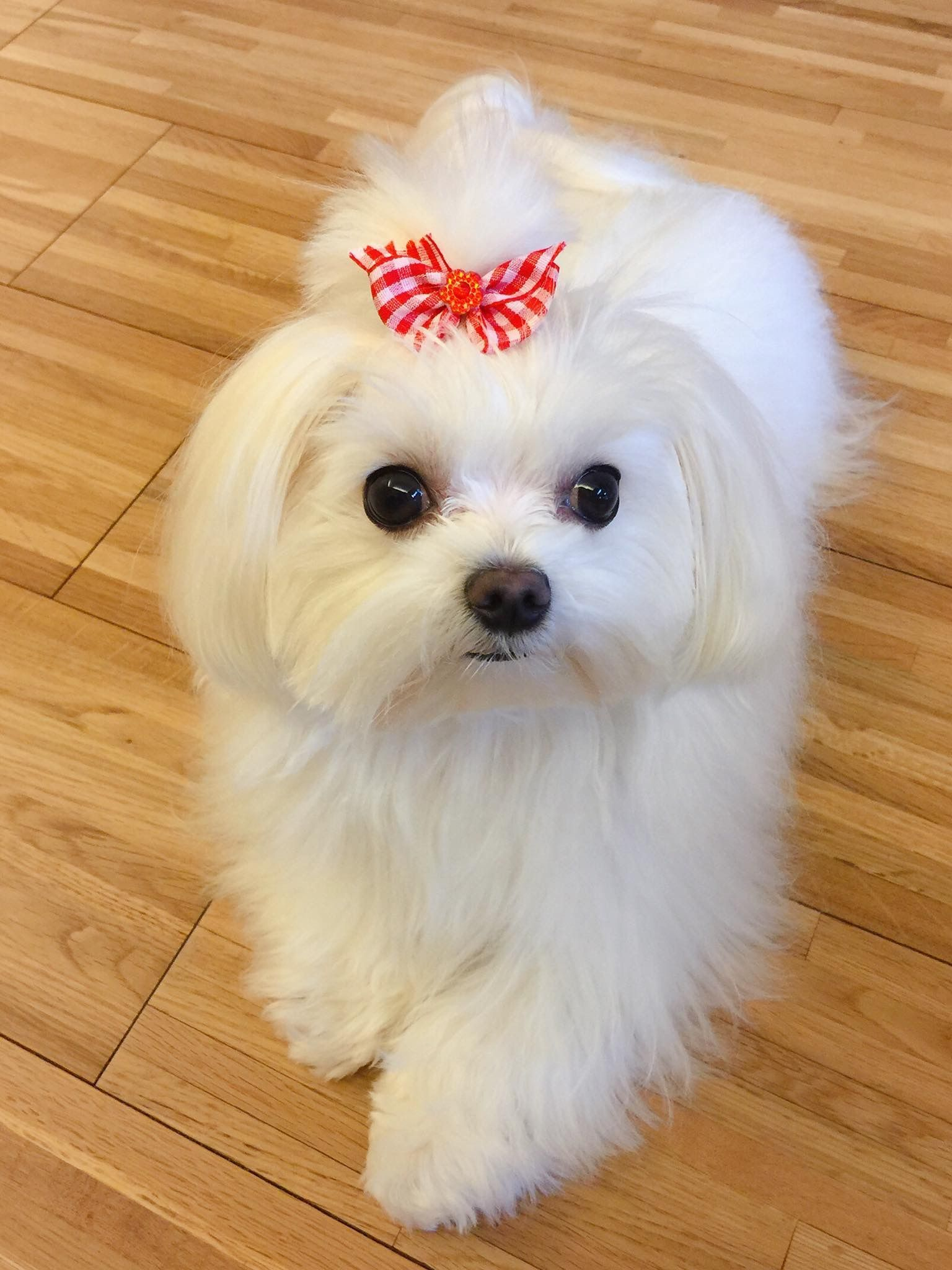 I Love This Little Girl Maltese Puppy Teacup Puppies Maltese